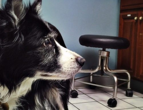 Can Arthritic Dogs Benefit From Stem Cell Therapy